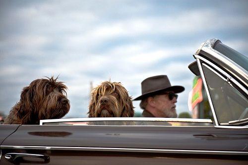 Tiere auf der Fanø Fähre